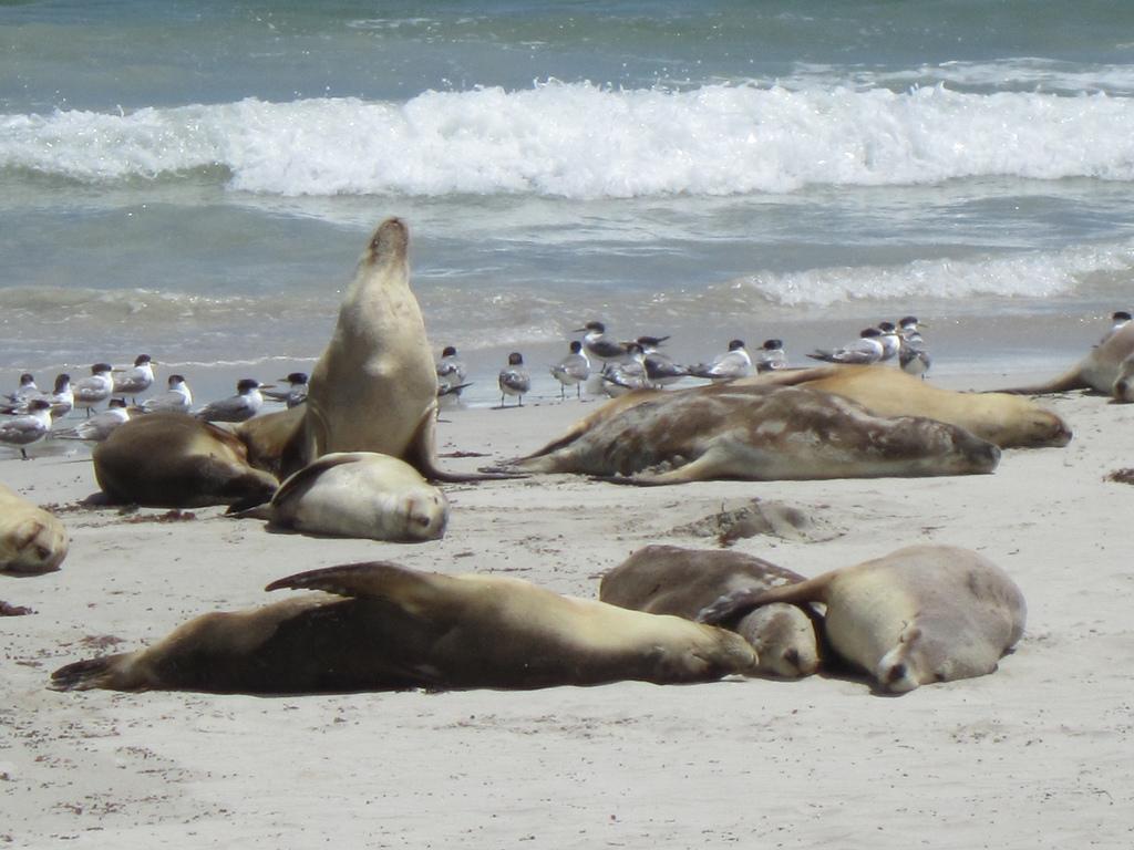 Seals Kangaroo Island
