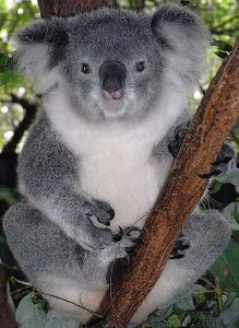 Female Koala In A Eucalyptus Tree