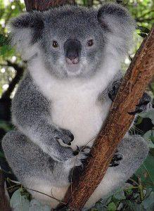 Female Koala In A Eucalyptus Tree