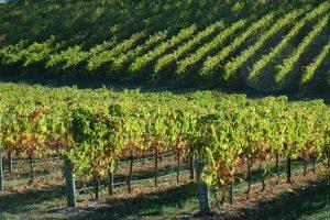 Adelaide Hills Vines