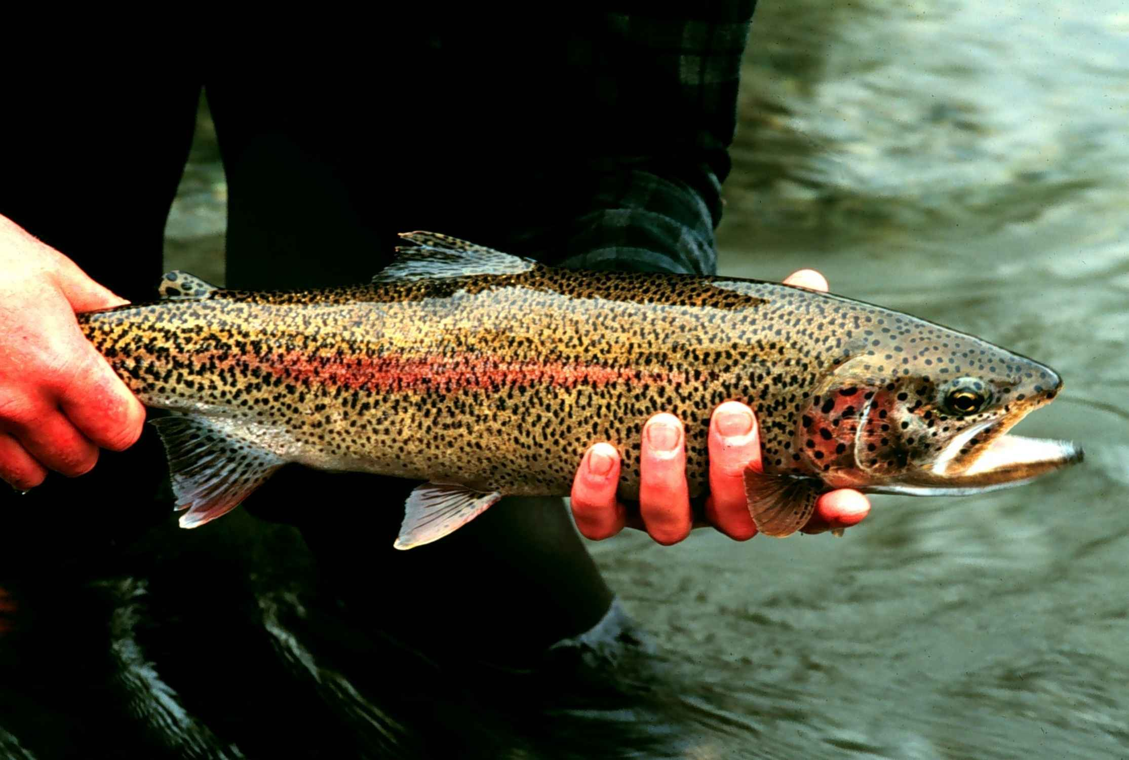 Tasmanian Wilderness Rainbow_trout