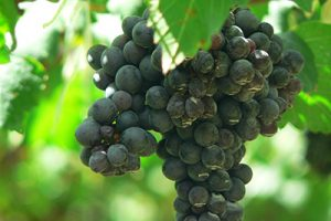 Shiraz_Grapes