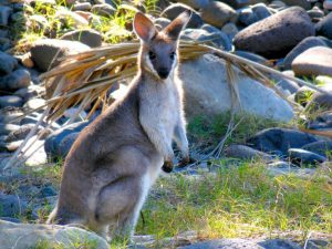 Kangaroo Species - Rock Wallaby