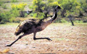 Emu - Australian Wildlife